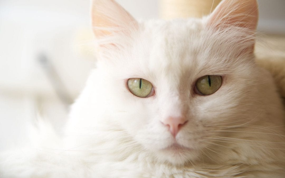 What is Taurine and Why do Cats Need It?